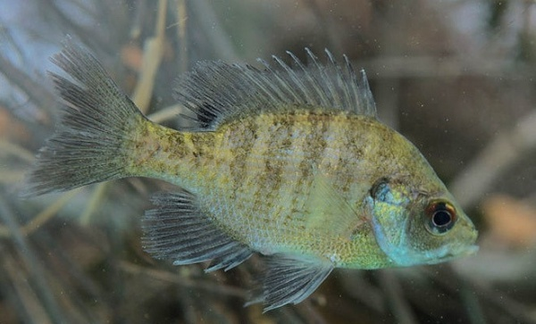 slides_0000_coppernose bluegill