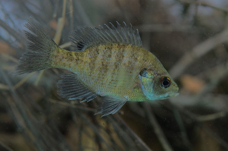 Coppernose Bluegill fish