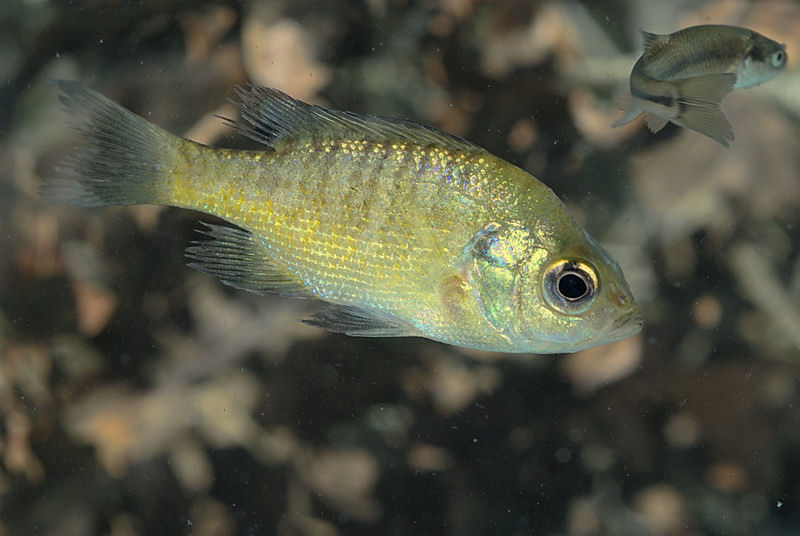 Native Bluegill fish