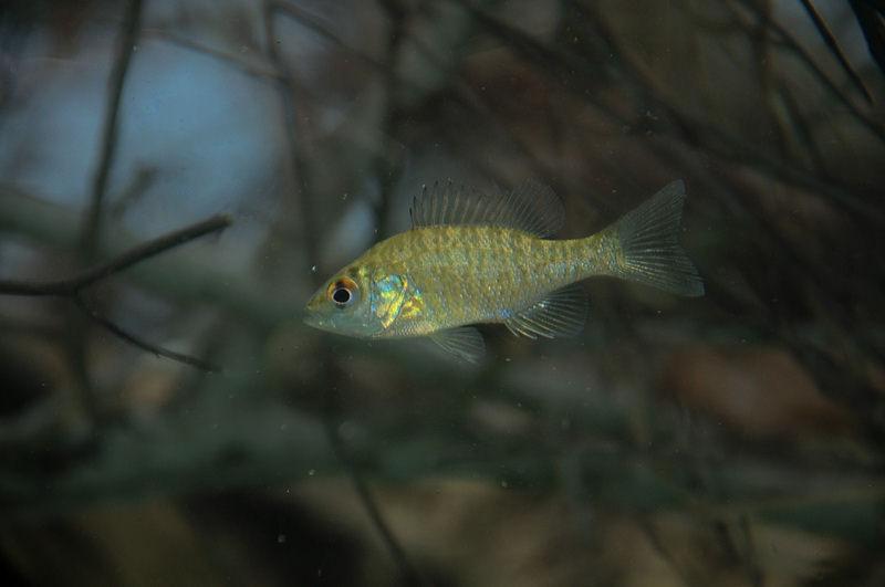 sunfish4